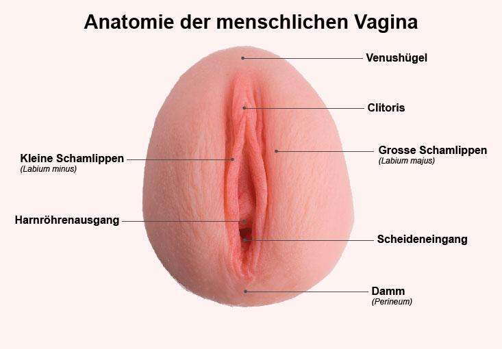Vagina grösse